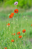 Spring blossom of wild poppies. With seeds Royalty Free Stock Photo