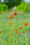 Spring blossom of wild poppies. With seeds Stock Image