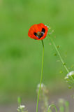 Spring blossom of wild poppies. With seeds Royalty Free Stock Photography