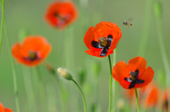 Spring blossom of wild poppies. With seeds Stock Images