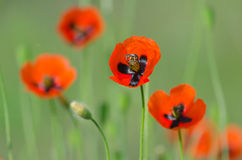 Spring blossom of wild poppies. With seeds stock photo