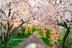 Spring. Blossomed cherry trees covering a dirt path during spring Stock Photography