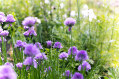 Spring blossomed chives Stock Photos