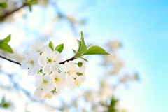 Spring blossoming Stock Photography