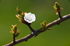 Spring - blossoming apple tree Royalty Free Stock Photo