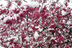 Spring. Blossoming apple tree. Stock Photo