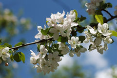 Spring blossoming apple-tree Stock Photos