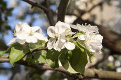 Spring blossoming apple tree Stock Image