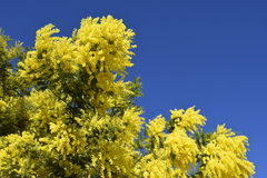 Spring. Blossoming. The blossoming tree.Mimosa. Stock Photos