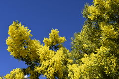 Spring. Blossoming. The blossoming tree.Mimosa. Stock Images
