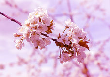 Spring blossoming branch of cherry tree Stock Image