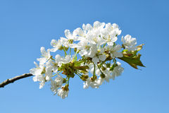 Spring blossoming branch of cherry tree Royalty Free Stock Images