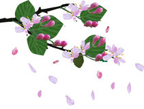 Spring blossoming branch and falling petals isolated on white Royalty Free Stock Photos