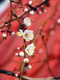 Spring blossoming branch on a red background. Spring apricot blooming tree on red background Royalty Free Stock Image