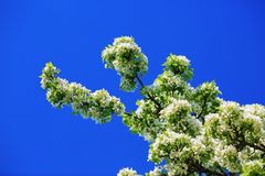 Spring blossoming Royalty Free Stock Image