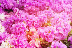 Spring Blossoming Bush Pink Flowers Background Royalty Free Stock Images