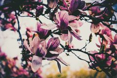 Spring Blossoming. Cherry Blossoms during mid Springtime Royalty Free Stock Photo