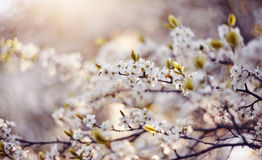 Spring blossoming of cherry. Royalty Free Stock Images