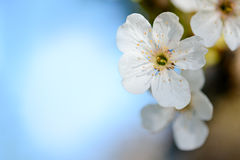 Spring Blossoming Cherry Flowers on Blurred Blue Background Royalty Free Stock Images