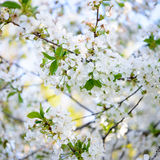 Spring Blossoming Cherry Flowers on Bright Blurred Background Royalty Free Stock Photo