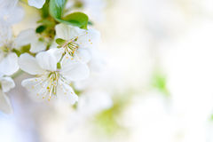 Spring Blossoming Cherry Flowers On Bright Blurred Background Stock Image