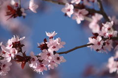 Spring - blossoming cherry tree Stock Photos