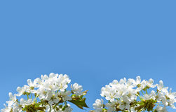 Spring blossoming cherry tree Stock Photos