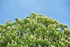 Spring blossoming chestnut (Castanea sativa) flower Stock Photos