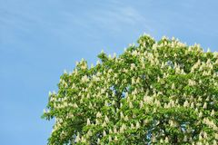 Spring blossoming chestnut (Castanea sativa) flower Royalty Free Stock Image