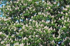 Spring blossoming chestnut Castanea sativa flower Royalty Free Stock Photo