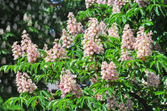 Spring blossoming chestnut Castanea sativa flower Stock Photo
