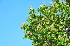 Spring blossoming chestnut Castanea sativa flower Stock Photos