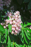 Spring blossoming chestnut Castanea sativa flower Royalty Free Stock Photo