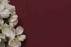 Spring blossoming flower on the dark red background. Space for text. Beautiful spring cherry flowers border on smooth back Stock Photos