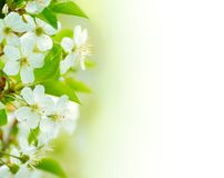 Spring blossoming flower on the white background Stock Images