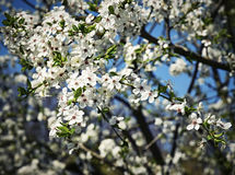Spring blossoming fruit tree crown Stock Photography