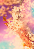 Spring blossoming. Gentle, soft, beautiful pastel tone. Royalty Free Stock Image