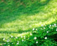 Spring blossoming glade of white flowers Royalty Free Stock Photos