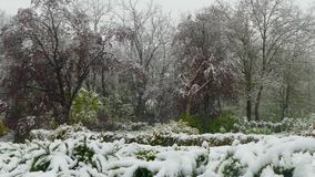 Spring flowering trees covered with snow during a snowfall. Spring blossoming green trees are covered with snow during an unexpected snowfall stock video