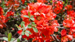 Spring blossoming Japanese quince bush Stock Photo