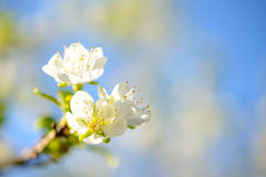Spring Blossoming Pear Flowers on Blurred Blue Background Royalty Free Stock Photography