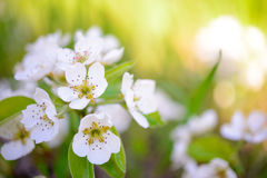 Spring Blossoming Pear Flowers on Bright Blurred Background Stock Photography