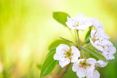 Spring Blossoming Pear Flowers on Bright Blurred Background Royalty Free Stock Photos