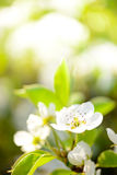 Spring Blossoming Pear Flowers on Bright Blurred Background Stock Image