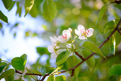 Spring Blossoming Pear Flowers on Bright Blurred Background Royalty Free Stock Image