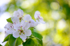 Spring Blossoming Pear Flowers on Bright Blurred Background Royalty Free Stock Images