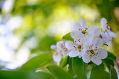 Spring Blossoming Pear Flowers on Bright Blurred Background Royalty Free Stock Photography