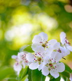 Spring Blossoming Pear Flowers on Bright Blurred Background Stock Photo