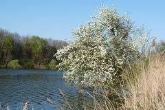 Spring. Blossoming pear leaned over the water Stock Image