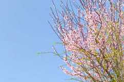 Spring blossoming pink sakura cherry tree Royalty Free Stock Photo